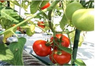 【選べる野菜カプセルAグループ】水やり放ったらかしで安全野菜を自分で簡単に作れたら良くないですか、...
