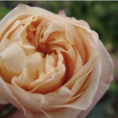 Tea rose 香油10ml ティーローズ