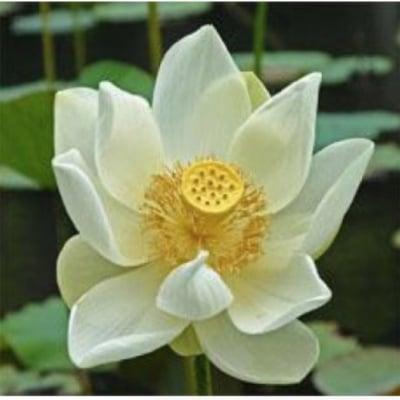 White lotus 香油5ml ホワイトロータス