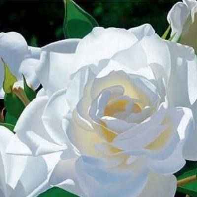 White Rose 香油10ml ホワイトローズ