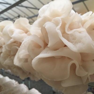 【調理・加工用】白いきくらげ「白美茸-はくびたけ-」(乾燥500g)